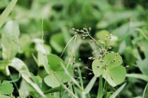 Grüner Klee
